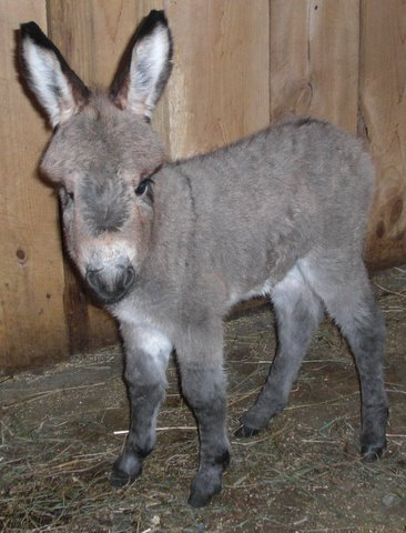 Mini Donkeys for Sale from Grand Finale Farm