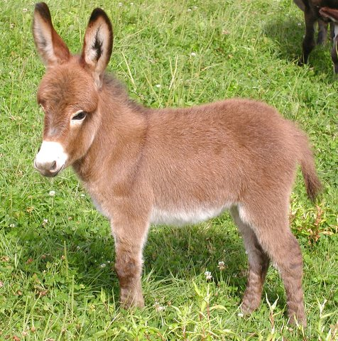 Miniature Donkeys from Grand Finale Farm